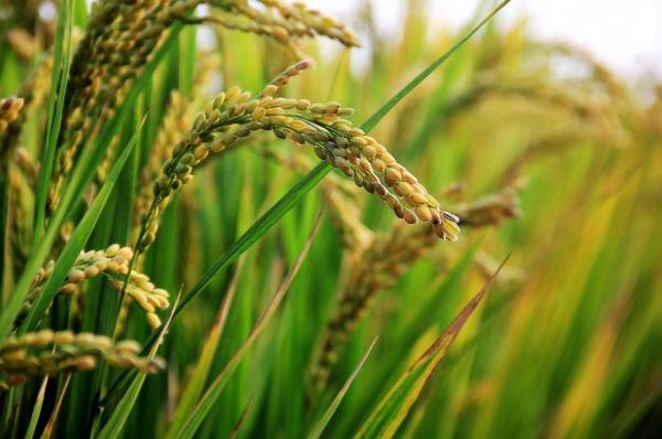 Hình ảnh cây lúa, cánh đồng lúa - JPG